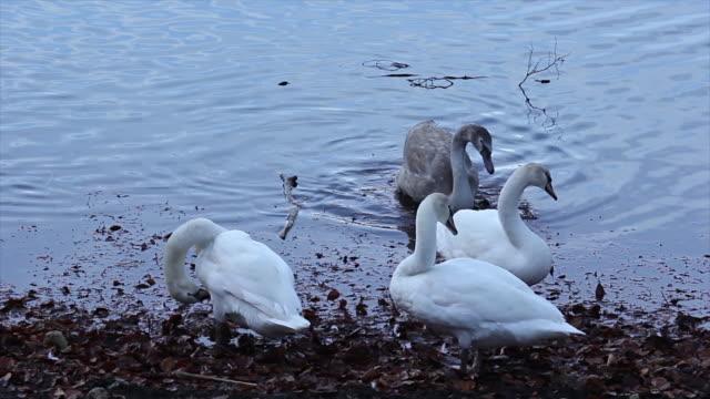vídeos y material grabado en eventos de stock de gooses sala de estar en el lago lado - cuello humano