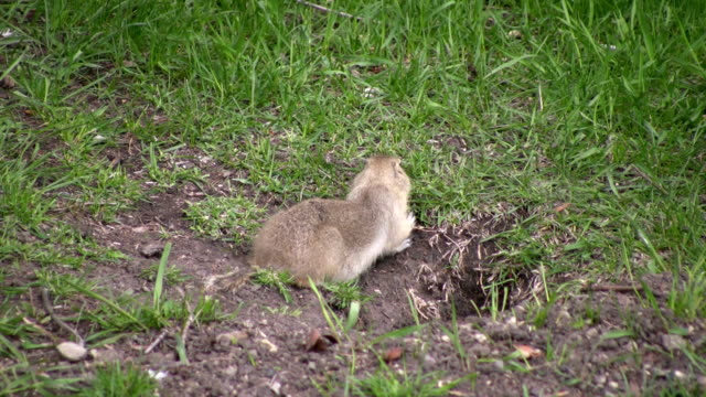 gopher eating - rodent stock videos and b-roll footage