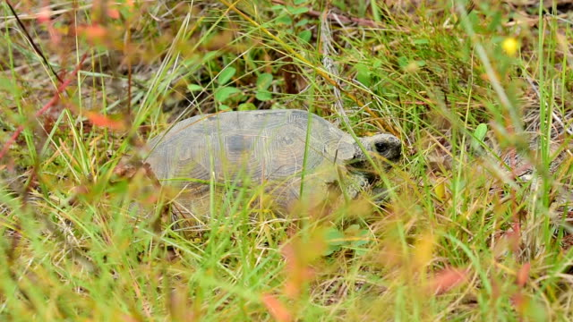 gopher tortoise hiding in vegetation and retracting into shell - tortoise shell stock videos & royalty-free footage