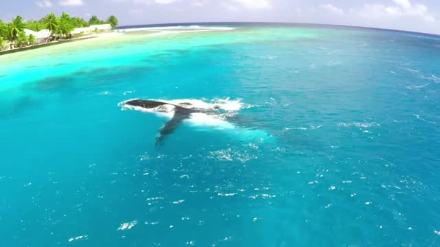 gopro footage captured the moment wildlife and travel bloggers melissa and scott saville encounter humpback whales in tuamotus, french polynesia, on... - french polynesia stock videos & royalty-free footage
