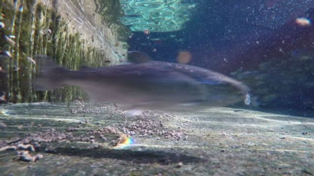 vidéos et rushes de gopro underwater footage of salmon fish swimming in an enclosed area on salmon farm - banc de poissons