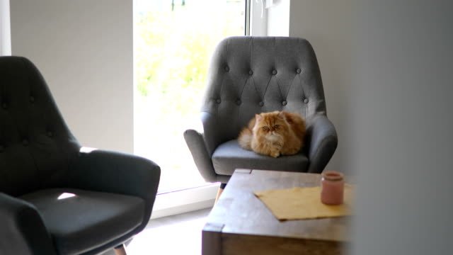 gorgeous and big persian cat - chair stock videos & royalty-free footage