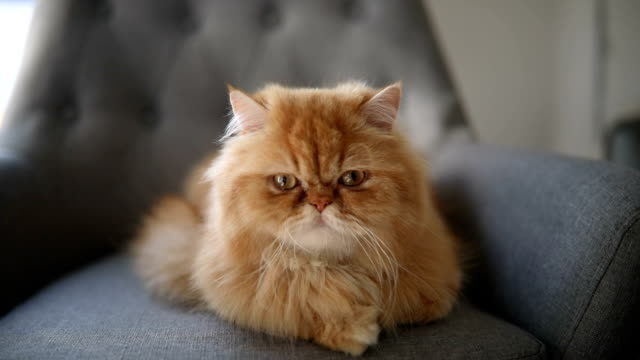 gorgeous and big persian cat - long stock videos & royalty-free footage