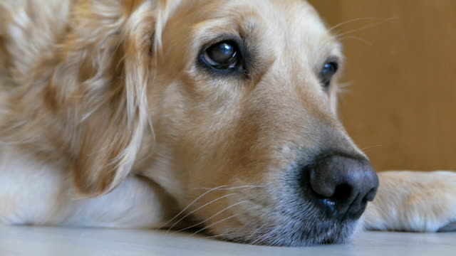 Gorgeous golden retriever dog lying on the floor at home