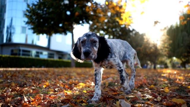 vídeos y material grabado en eventos de stock de magnífico perro manchado olisqueando en un parque - perro cazador