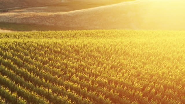Gorgeous Sunset Glow on California Vineyard