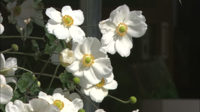 Gorgeous white Japanese anemones bloom in bright sunlight.