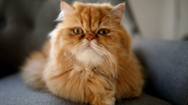gorgeous yellow and orange persian cat - cute stock videos & royalty-free footage