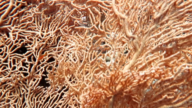 gorgonian coral in red sea - red sea stock videos & royalty-free footage