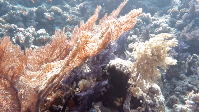 gorgonian coral in red sea - gorgonian coral stock videos & royalty-free footage
