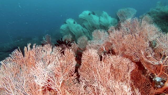 gorgonian coral sea fan garden on underwater coral reef - gorgonian coral stock videos & royalty-free footage