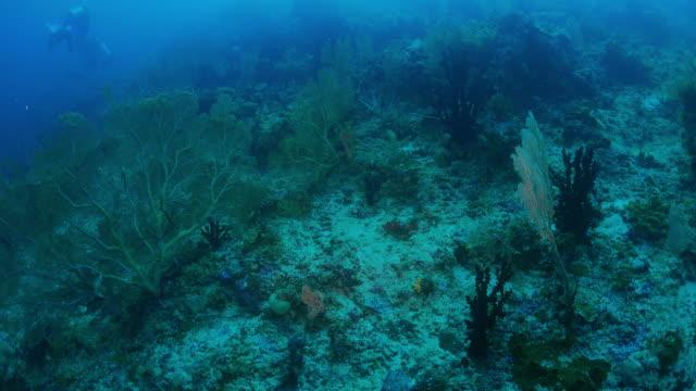 gorgonian coral (sea fan) - gorgonian coral stock videos & royalty-free footage