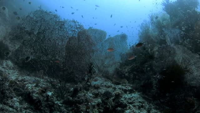 gorgonian sea fan coral forest undersea, indonesia - gorgonian coral stock videos & royalty-free footage