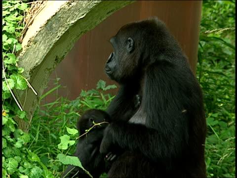 vídeos y material grabado en eventos de stock de a gorilla and her infant sit together in their enclosure. - animales en cautiverio
