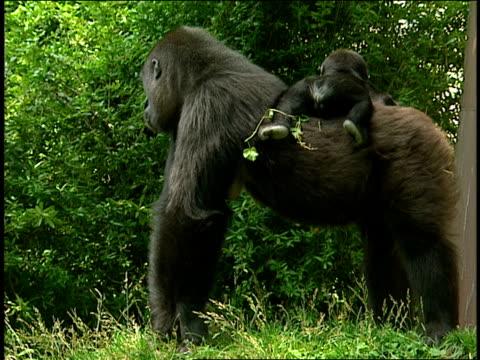 vídeos y material grabado en eventos de stock de a gorilla carries her infant on her back. - animales en cautiverio