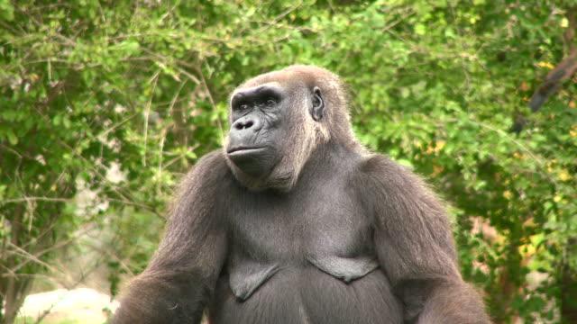 Gorilla Nahaufnahme