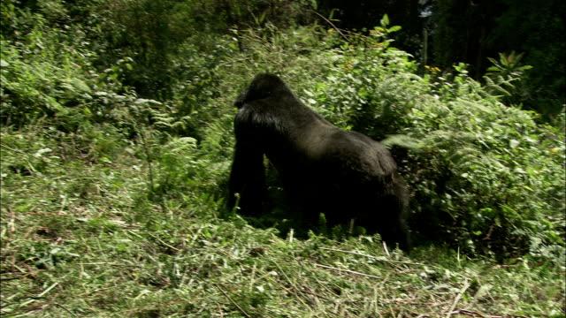 a gorilla crawls into dense jungle vegetation. - land stock videos & royalty-free footage