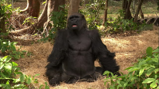 vidéos et rushes de gorilla dancing in enclosure / monkey jungle / miami, florida - humour