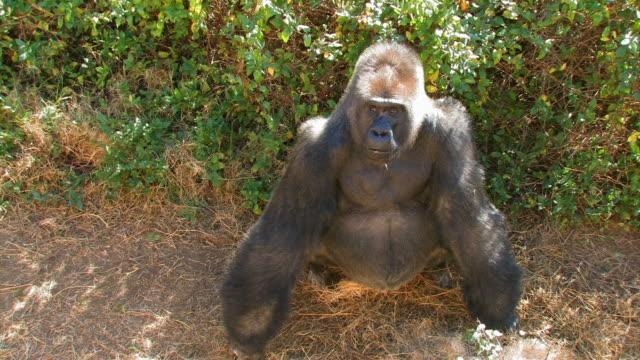 Gorilla dominierende male
