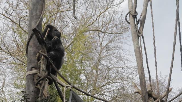 gorilla eating and climbing in tree in zoo exhibit - 動物園点の映像素材/bロール