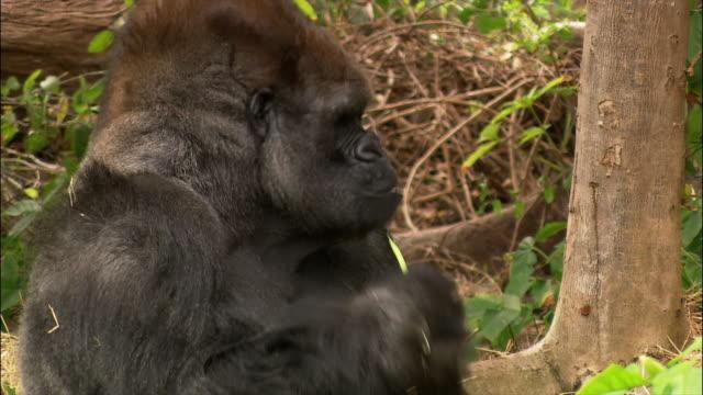 gorilla eating string beans / monkey jungle / miami, florida - runner bean stock videos & royalty-free footage