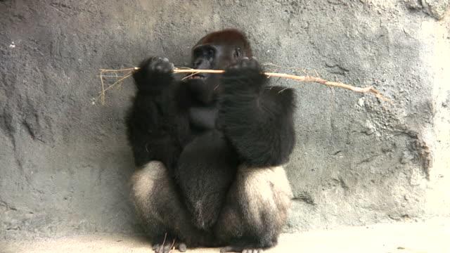 Gorilla Essen