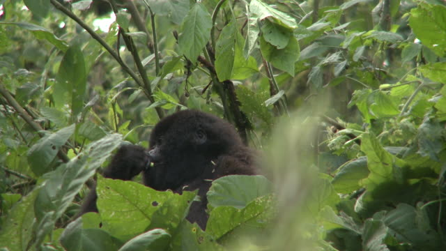 A gorilla eats leaves as it sits in a tree. Available in HD.