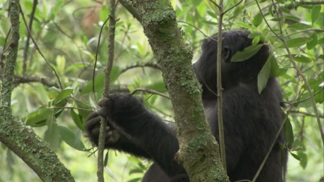 A gorilla eats leaves off a tree. Available in HD.