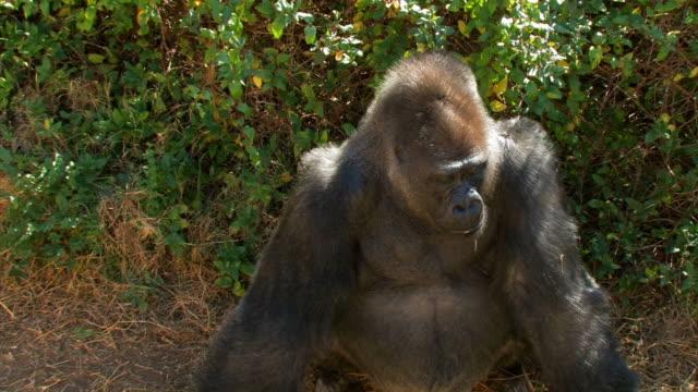 Gorilla eyes closeup - zoom in