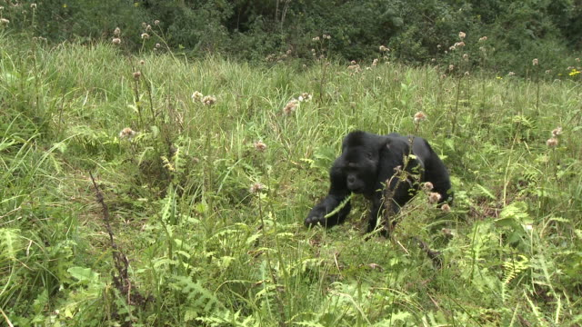 A gorilla feeds on foliage in a clearing in the Volcanoes National Park of Rwanda. Available in HD.