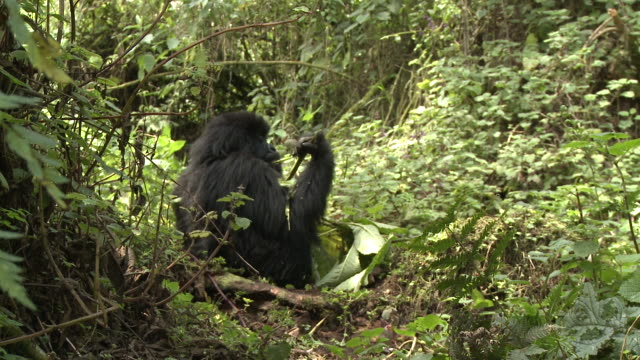 A gorilla feeds on vegetation in the Volcanoes National Park of Rwanda. Available in HD.