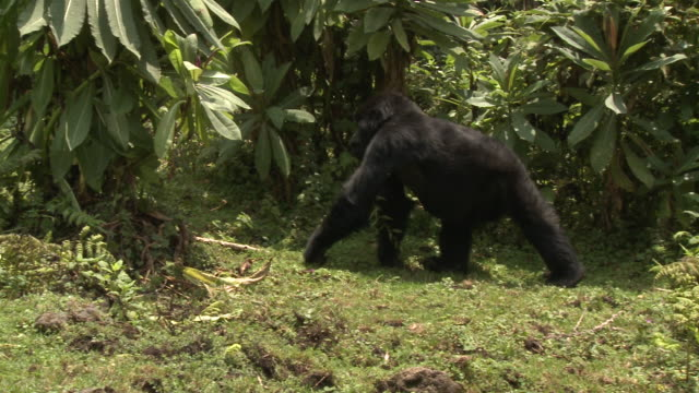 A gorilla feeds while striding through a forest in the Volcanoes National Park in Rwanda. Available in HD.