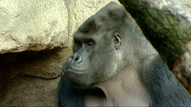 gorilla gives birth live on internet mackie interview sot cutaway close shot daimisi the gorilla reporter to camera / daimisi in enclosure daimisi... - enclosure stock videos & royalty-free footage