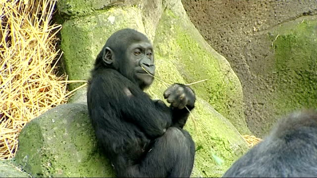 gorilla gives birth live on internet mbula eating plant in enclosure asili cradling new baby gorilla - enclosure stock videos & royalty-free footage