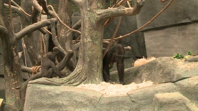 wgn gorilla habitat at brookfield zoo on june 6 2018 - 動物園点の映像素材/bロール
