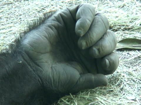 gorilla hände und finger - gorilla stock-videos und b-roll-filmmaterial