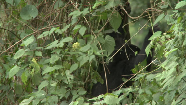 A gorilla hangs from a branch while searching for food in the Volcanoes National Park of Rwanda. Available in HD.