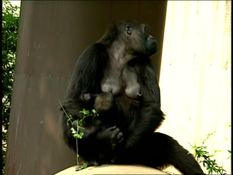 a gorilla holds her infant. - tier in gefangenschaft stock-videos und b-roll-filmmaterial