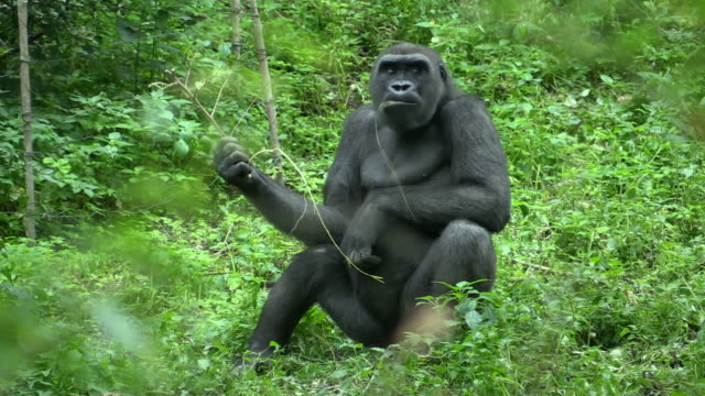 Gorilla in the Bronx Zoo