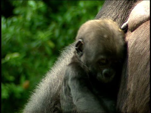 vídeos y material grabado en eventos de stock de a gorilla infant clings to its mother. - animales en cautiverio
