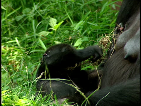 a gorilla infant plays with grass near its mother. - zoology stock videos & royalty-free footage