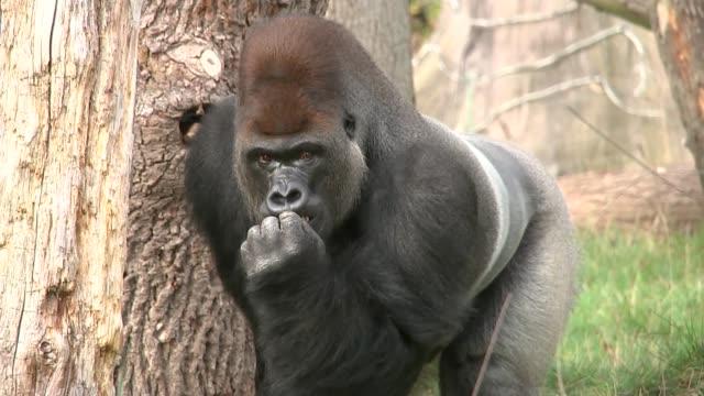 Gorilla Kumbuka escaped 'through two unlocked doors' ENGLAND London Regent's Park London Zoo EXT Kumbuka along in enclosure ZOOM Professor David...