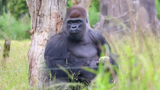 gorilla kumbuka escaped 'through two unlocked doors'; england: london: regent's park: london zoo: ext various of kumbuka seated and walking around in... - enclosure stock videos & royalty-free footage