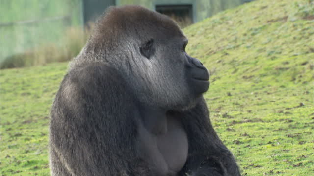 A gorilla living in a park in Kent has become an internet sensation by apeing his keepers Exterior shots of Ambam the gorilla in enlcosure plus...