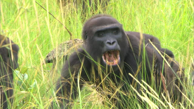 gorilla making sounds with open mouth, lesio-louna wildlife reserve, congo, africa - animal call stock videos & royalty-free footage