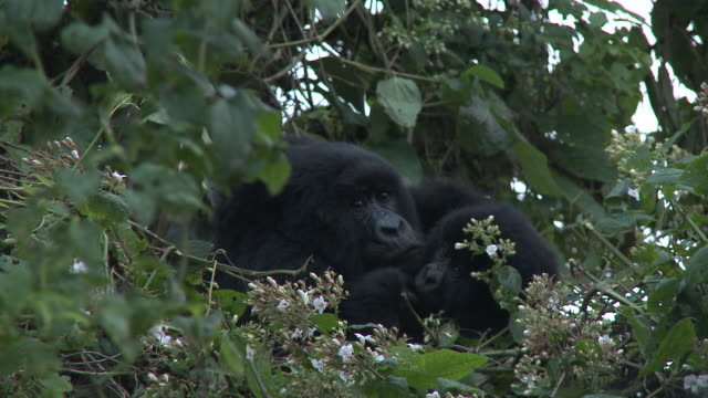 A gorilla mother and her baby cuddle in swaying treetops. Available in HD.
