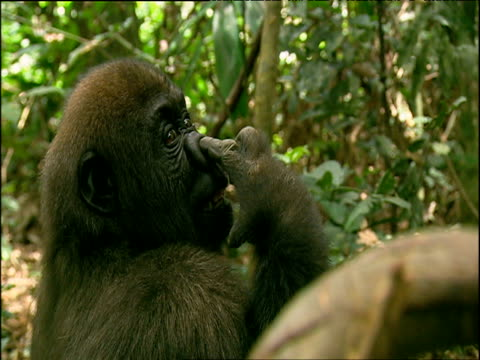 gorilla picks his nose and eats mucus - primate stock videos & royalty-free footage