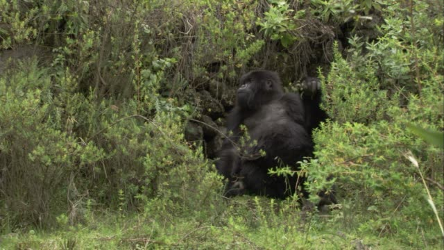 A gorilla relaxes in shrubs near a boundary wall and then moves on. Available in HD.
