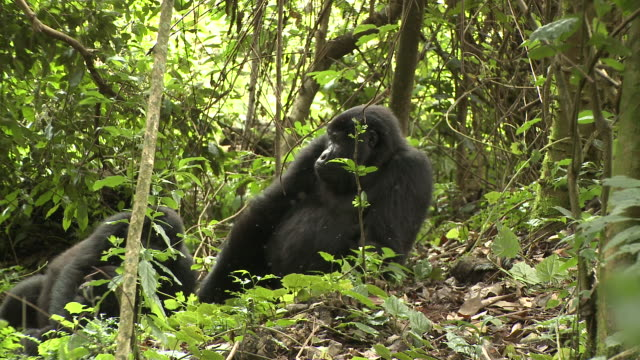 A gorilla resting in a clearing scrambles to its feet as a male silverback approaches. Available in HD.