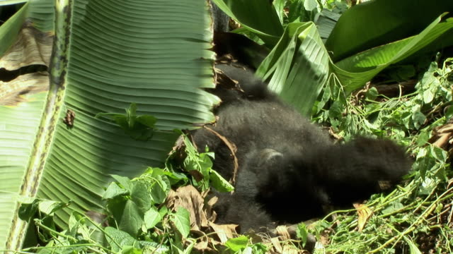 ws gorilla resting on ground, virunga national park, national park, congo - nationalpark stock-videos und b-roll-filmmaterial